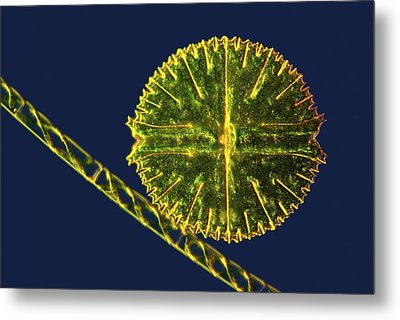 Green Algae, Light Micrograph Metal Print by Science Photo Library