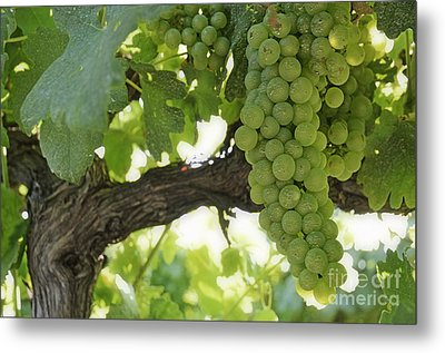 Green Grapes On Vineyards In Summer Metal Print by Sami Sarkis