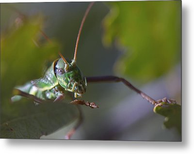 Metal Print featuring the photograph Green Grasshopper Ephippiger by Jivko Nakev