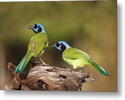 Green Jays (cyanocoras Yncas Metal Print by Larry Ditto