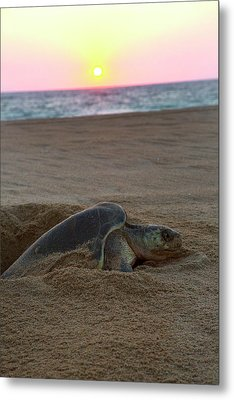Green Sea Turtle Laying Eggs, Hotelito Metal Print by Douglas Peebles