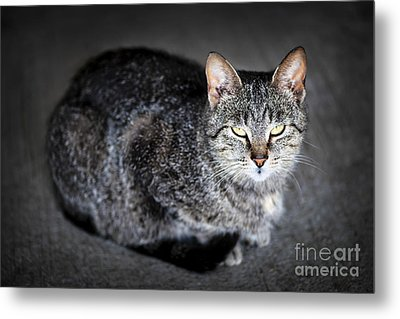 Grey Cat Portrait Metal Print