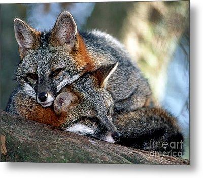 Grey Foxes Metal Print by Millard H. Sharp