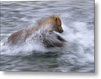 Grizzly Bear Chasing Fish Metal Print by Matthias Breiter