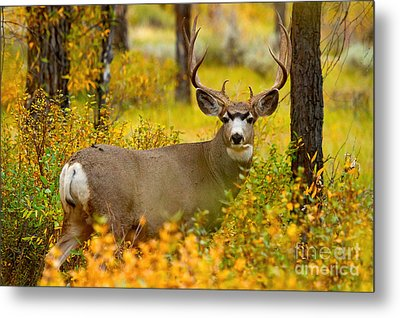 Metal Print featuring the photograph Gros Ventre Buck by Aaron Whittemore