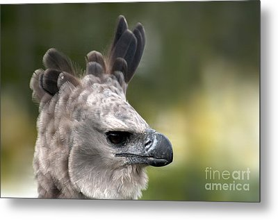 Harpy Eagle Harpia Harpyja Metal Print by Mark Newman