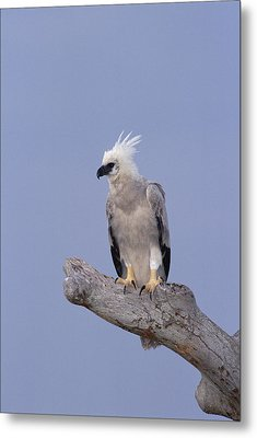 Harpy Eagle Juvenile Silk-cotton Tree Metal Print by Tui De Roy