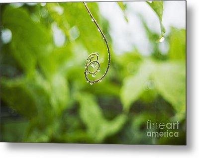 Hawaii, Oahu, Water Droplets On Curly Lilikoi Vine Tendril. Metal Print by Charmian Vistaunet