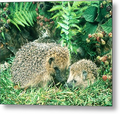 Hedgehog With Young Metal Print by Hans Reinhard