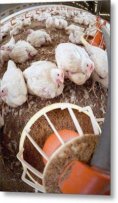 Hens Feeding From A Trough Metal Print