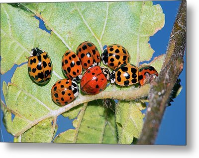 Hibernating Harlequin Ladybirds Metal Print