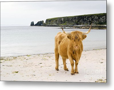 Highland Cow On A Beach Metal Print by Duncan Shaw
