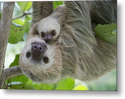 Hoffmanns Two-toed Sloth And Old Baby Metal Print by Suzi Eszterhas