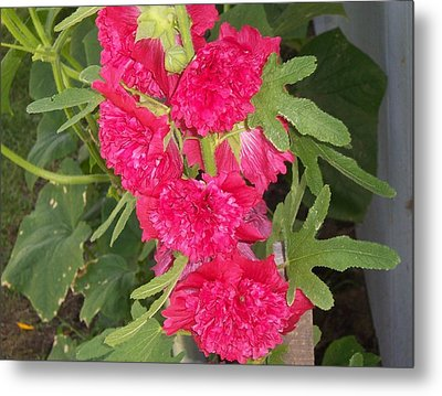Metal Print featuring the photograph Hollyhock by John Mathews