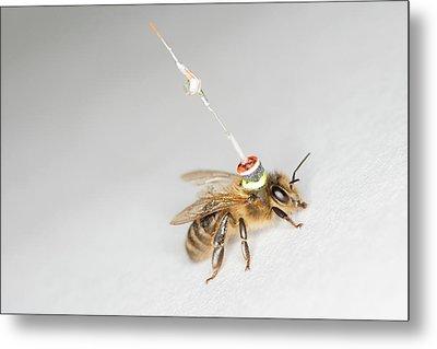 Honeybee Radar Tagging Metal Print by Louise Murray