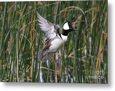 Hooded Merganser Take-off Metal Print by Jennifer Zelik