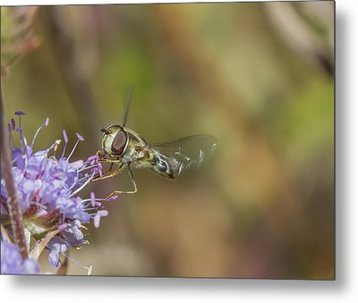 Metal Print featuring the photograph Hoverefly - Syrphus Vitripennis by Jivko Nakev