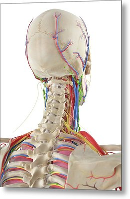 Human Head And Spine Metal Print