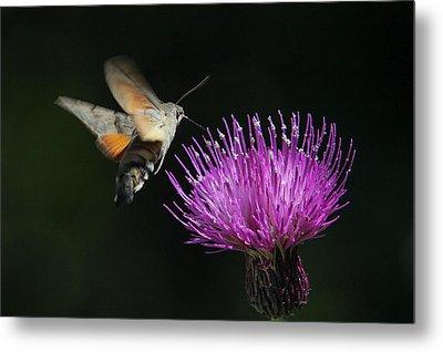 Metal Print featuring the photograph Hummingbird Hawk-moth - Macroglossum Stellatarum by Jivko Nakev