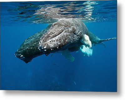 Humpback Whale And Calf Metal Print by Andrew J. Martinez