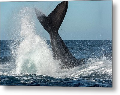 Humpback Whale Lobtailing Metal Print by Christopher Swann