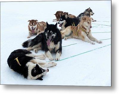Husky Sled Dogs Metal Print