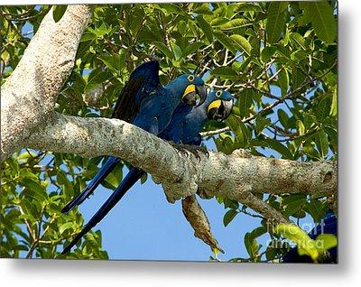 Hyacinth Macaws, Brazil Metal Print by Gregory G. Dimijian, M.D.