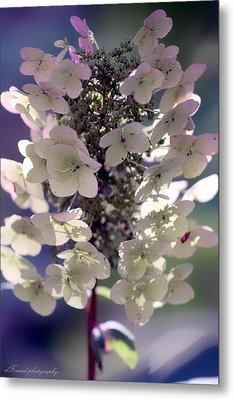 Metal Print featuring the photograph Hydrangea  by Debra Forand