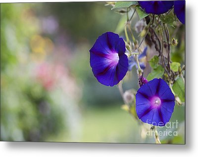 Ipomoea Morning Glory Flowers Metal Print by Tim Gainey
