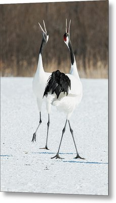 Japanese Cranes Displaying Metal Print