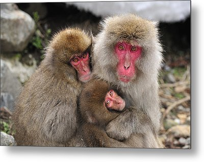 Japanese Macaque Mother With Young Metal Print by Thomas Marent