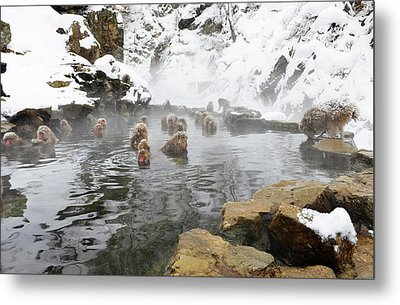 Japanese Macaques In A Hot Spring Metal Print by Dr P. Marazzi