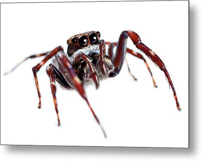Jumping Spider Metal Print by Alex Hyde