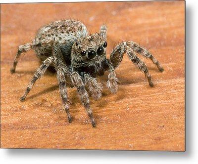 Jumping Spider Metal Print by Nigel Downer