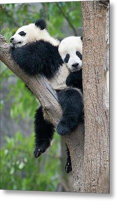 Juvenile Pandas In A Tree Metal Print by Tony Camacho
