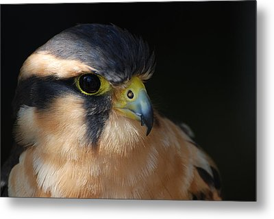 Kestrel Falcon Metal Print by Amy Porter