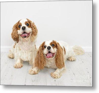 King Charles Spaniel Dogs Metal Print by Amanda Elwell