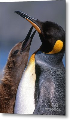 King Penguin With Chick Metal Print by Art Wolfe