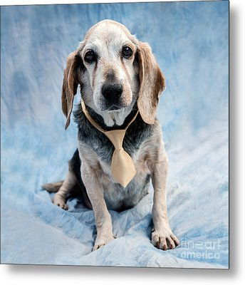 Kippy Beagle Senior And Best Dog Ever Metal Print by Iris Richardson