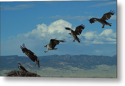 Landing Pattern Of The Osprey Metal Print by Ernie Echols