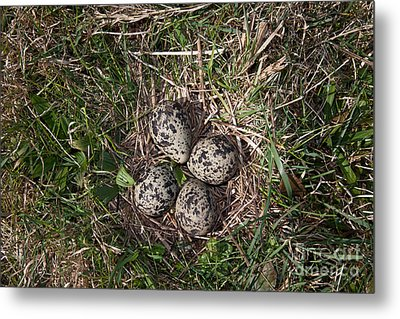 Lapwing Nest Metal Print by Marcus Bosch