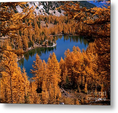 Larch Trees Around Cooney Lake Metal Print by Tracy Knauer