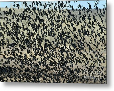 Large Flock Of Blackbirds And Cowbirds Metal Print by Mark Newman