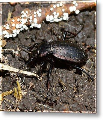 Large Stag Beetle Metal Print