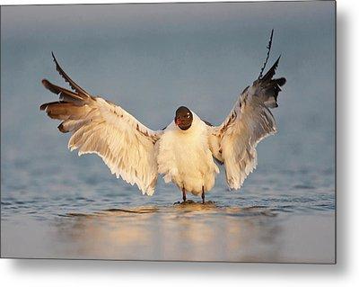 Laughing Gull (larus Atricilla Metal Print
