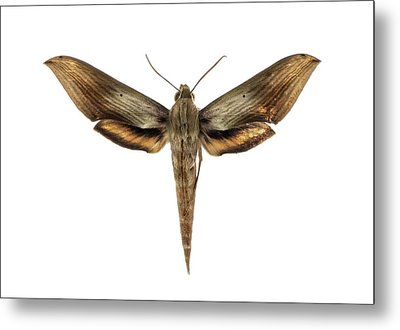 Libya Sphinx Moth Metal Print by F. Martinez Clavel