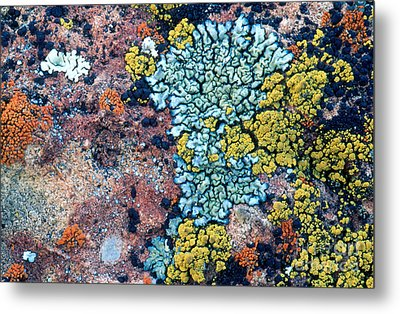 Lichens On A Rock Metal Print by William H. Mullins