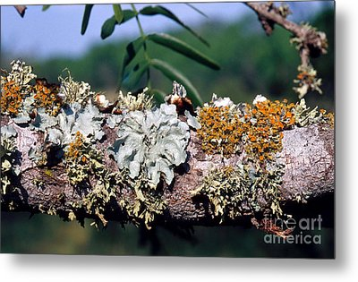 Lichens On A Tree Metal Print by Gregory G. Dimijian, M.D.
