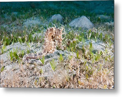 Lined Seahorse Metal Print by Andrew J. Martinez