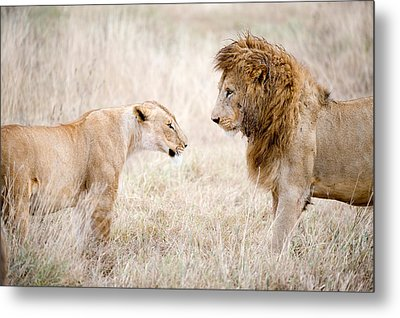 Lion And A Lioness Panthera Leo Metal Print